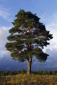дерево-донор
